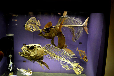 Skeletons of massive fish in the Australian Museum's Long Gallery hall